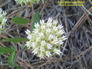 Asclepias curtissii