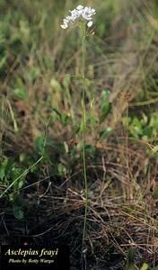 Asclepias feayi