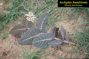 Asclepias humistrata