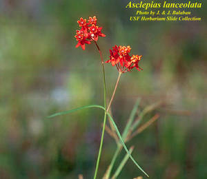 Asclepias lanceolata