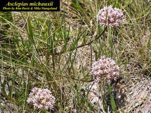 Asclepias michauxii