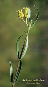 Asclepias pedicellata