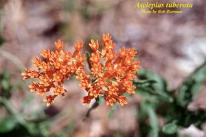 Asclepias tuberosa