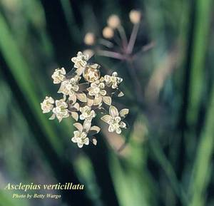 Asclepias verticillata
