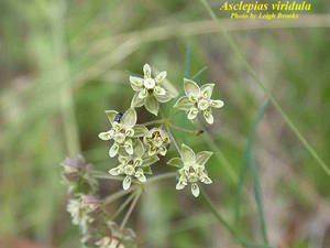 Asclepias viridula
