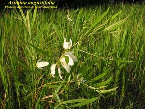 Asimina angustifolia