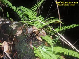 Asplenium erosum