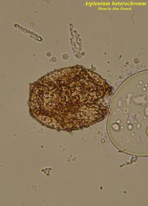 Asplenium heterochroum