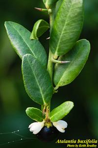 Atalantia buxifolia