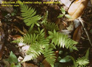 Athyrium filix-femina subsp. asplenioides