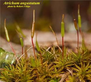 Atrichum angustatum