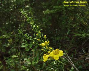 Aureolaria flava