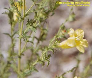 Aureolaria pectinata