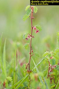 Ayenia euphrasiifolia