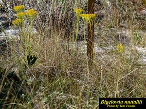 Bigelowia nuttallii