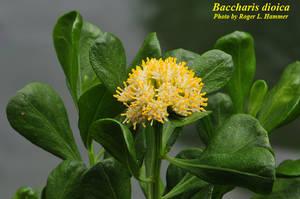 Baccharis dioica