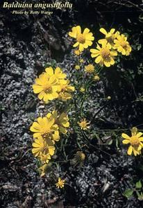 Balduina angustifolia