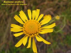Balduina uniflora