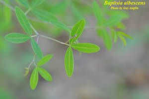 Baptisia albescens