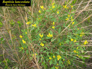 Baptisia lanceolata