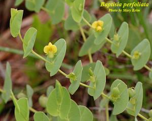 Baptisia perfoliata