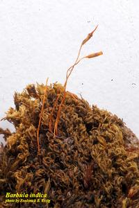 Barbula indica var. indica
