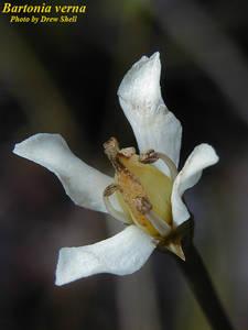 Bartonia verna