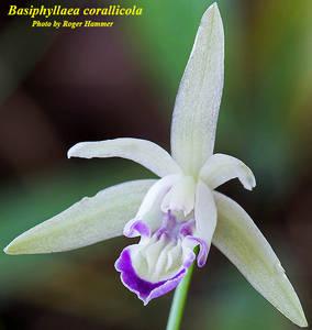 Basiphyllaea corallicola