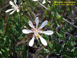 Bejaria racemosa