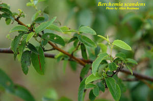 Berchemia scandens