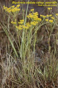 Bigelowia nudata subsp. australis