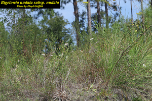 Bigelowia nudata subsp. nudata