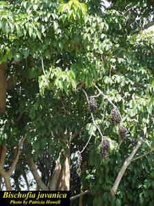 Bischofia javanica