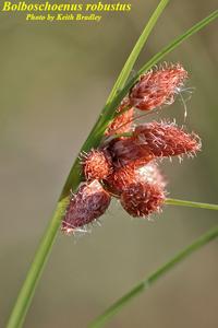 Bolboschoenus robustus