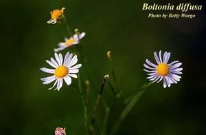 Boltonia diffusa
