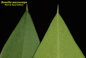 Bonellia macrocarpa