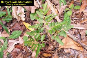 Botrychium biternatum