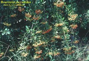 Bourreria succulenta