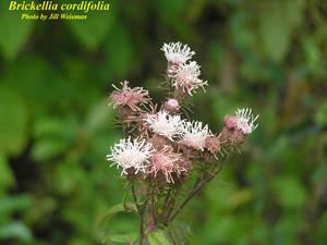Brickellia cordifolia