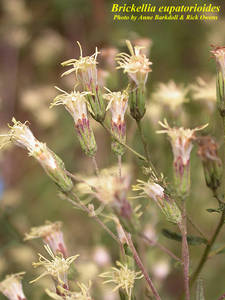 Brickellia eupatorioides