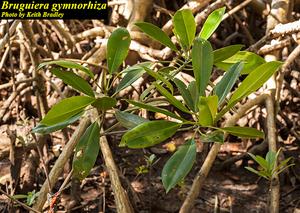 Bruguiera gymnorhiza