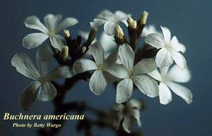 Buchnera americana