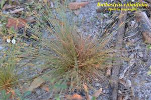 Bulbostylis ciliatifolia