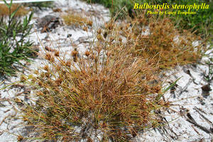 Bulbostylis stenophylla