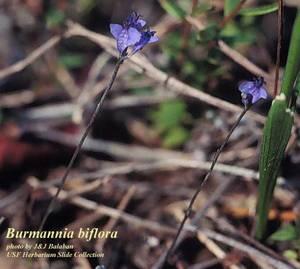 Burmannia biflora
