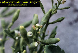 Cakile edentula subsp. harperi
