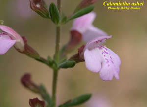 Calamintha ashei