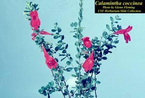 Calamintha coccinea