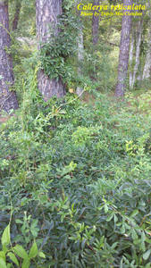 Callerya reticulata