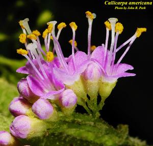 Callicarpa americana